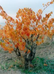 grenache bush vine